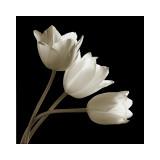 Three Tulips Giclee Print by Michael Harrison