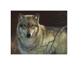 Uninterrupted Stare: Gray Wolf Giclee Print by Joni Johnson-godsy
