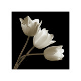 Three Tulips Giclee Print by Michael Harrison