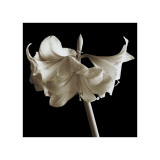 Amaryllis Giclee Print by Michael Harrison