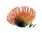 Orange Protea III Giclee Print by Jenny Kraft