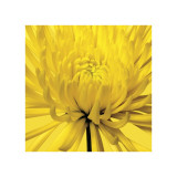 Yellow Mum IV Giclee Print by Jenny Kraft