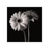 Gerber Daisies I Giclee Print by Michael Harrison