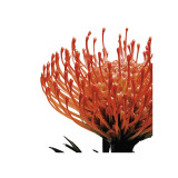 Orange Protea I (detail) Giclee Print by Jenny Kraft