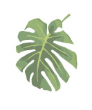 Philodendron I Giclee Print by Jenny Kraft