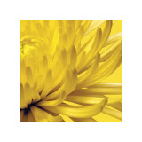 Yellow Mum II Giclee Print by Jenny Kraft