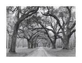 Jim Morris - Dubové klenby–stromořadí Digitálně vytištěná reprodukce