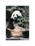 Giant Panda Giclee Print by Art Wolfe