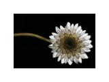 Solitary Blossom Giclee Print by David Winston