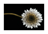 Solitary Blossom Giclee Print by David Winston