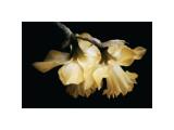 Sunning Daffodils Giclee Print by David Winston