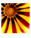 Gazania Tiger Stripe Mixed Colour Explosion Photographic Print by Chris Harvey