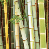 Bamboos Forest, Sagano, Kyoto, Japan Art by Rob Tilley