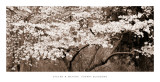 Kirsebærtræer i flor Plakater af Steven N. Meyers