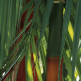 Bamboos, Costa Rica Posters by Cindy Miller Hopkins