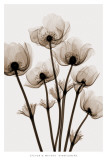 Anemoni dei boschi Stampe di Steven N. Meyers