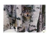 Mountain Ranger Posters av Art Wolfe