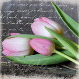 Poetry Tulips Prints by Andrea Haase
