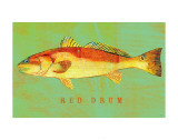 Red Drum Posters by John Golden