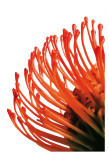Orange Protea IV Poster by Jenny Kraft