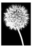 Dandelion Posters by Jenny Kraft
