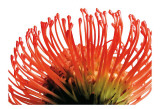 Orange Protea II Posters by Jenny Kraft