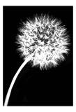 Dandelion Tilt Posters by Jenny Kraft