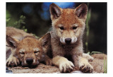 Spring Wolf Pups Print by Art Wolfe