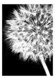 Dandelion Crop Prints by Jenny Kraft