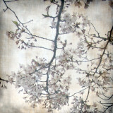 Cherry Blossom Tree V Prints by Tony Koukos
