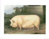 Pig III Prints