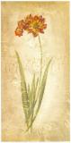 Ixia Maculata Prints by Roberta Ricchini