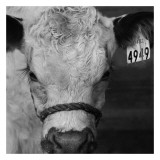The Calf Posters by Carl Ellie