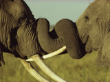 An Older Male African Elephant, Loxodonta Africana,Spars with a Younger One Photographic Print by William Thompson