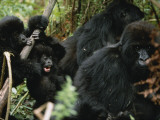 A Family Group of Some of 600 Mountain Gorillas Photographic Print by Michael Nichols