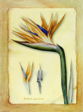 Strelitzia Prints by Cesano Boscone