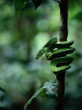 A Coiled Green Tree Python Photographic Print by Sam Abell