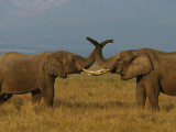African Elephants Communicate with their Trunks Photographic Print by Michael Nichols