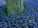Lavender Muscari in the Keukenhof Flower Park Photographic Print by Sisse Brimberg