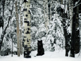 A Gray Wolf, Canis Lupus, Sitting in the Midst of a Snowy Landscape Fotografisk tryk af Joel Sartore