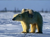 A Polar Bear Mother with Her Cub Lámina fotográfica por Norbert Rosing