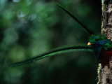 Male Resplendent Quetzal, Pharomachrus Mocinno Costaricensis, Peers from its Nest Photographie par Steve Winter