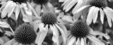 Echinacea Sunrise Prints by Dennis Frates