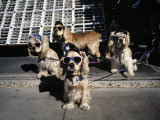 Cocker Spaniels in Sunglasses and Sun Visors Photographic Print by Richard Olsenius