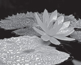 Droplets on Water Lilly Prints by Dennis Frates