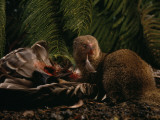 An Introduced Mongoose Eating a Nene, Hawaii's Endangered State Bird Photographic Print by Chris Johns