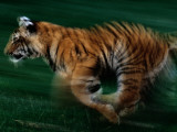 A Captive Young Tiger Runs across the Grass on Tiger Island Photographic Print by Michael Nichols