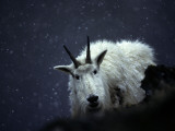 From its Craggy Winter Haunts, a Mountain Goat Peers at an Intruder Photographic Print by Michael S. Quinton