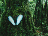 A Blue Morpho Butterfly on a Mossy Tree Trunk Photographic Print by Joel Sartore
