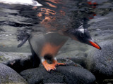 A Gentoo Penguin Peeks Beneath the Water before Taking the Plunge Valokuvavedos tekijänä Paul Nicklen